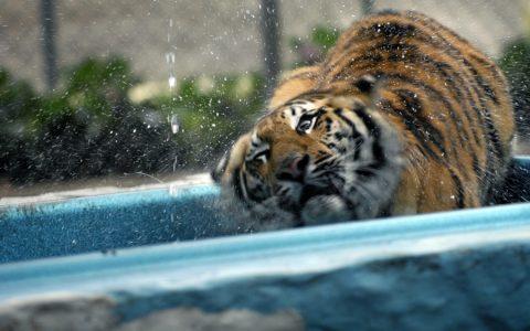 Tiger preservation