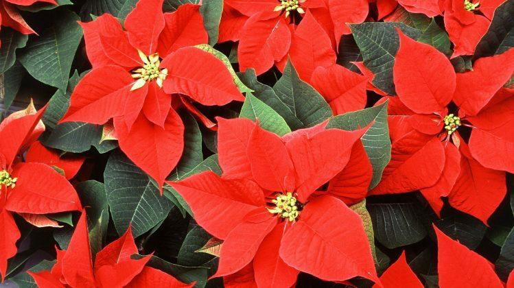 Пуансеттия цветок в доме отзывы